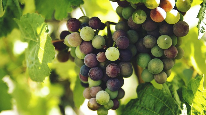 Выставка винограда пройдет в Аптекарском огороде