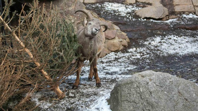 Московский зоопарк принимает живые елки