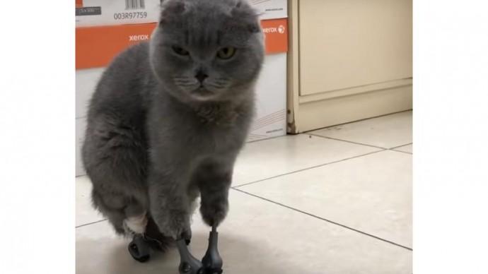 Новосибирские ветеринары удачно поставили кошке распечатанные на 3D-принтере протезы
