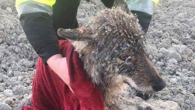 Эстонские рабочие спасли волка, думая, что это собака