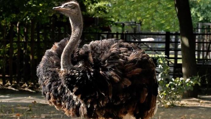 В Московском зоопарке можно познакомиться с африканскими страусами
