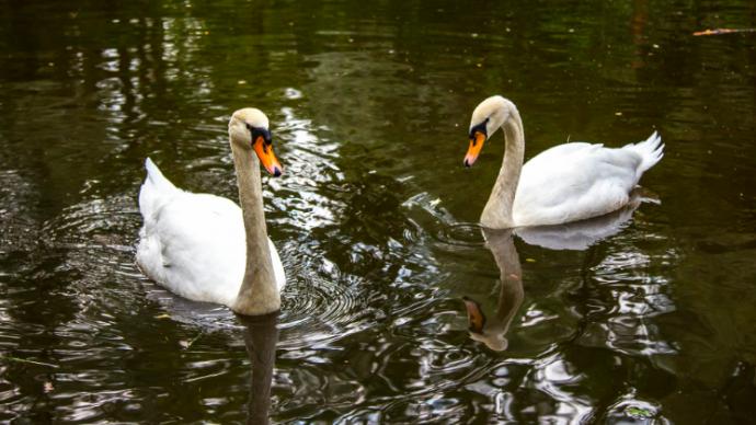 Лебеди из парков Москвы отправятся на зимовку в октябре