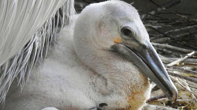 В Московском зоопарке вылупился птенец редкого пеликана
