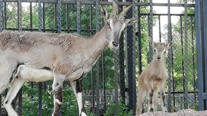В Московском зоопарке родился краснокнижный голубой баран