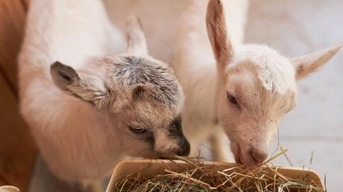 На «Городской ферме» вновь выбирают имена для новорожденных козлят