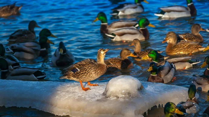 В «Царицыне» спасли вмерзшую в лед утку