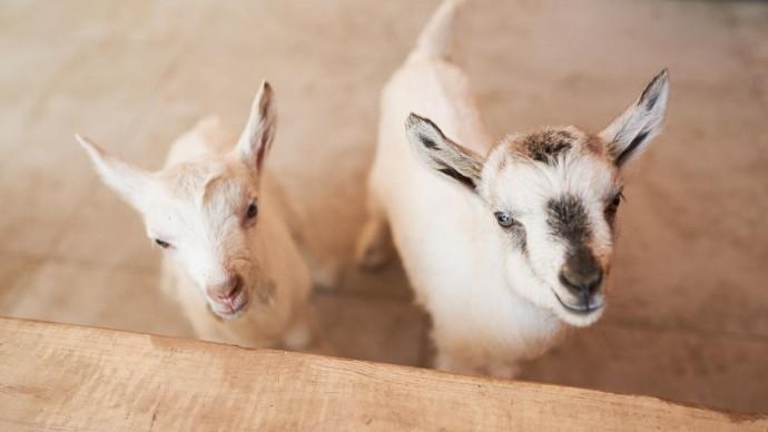 Козлятам на «Городской ферме» ВДНХ выбрали имена