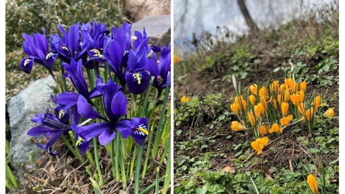 В закрытом на карантин «Аптекарском огороде» весна наступила на 5 недель раньше обычного