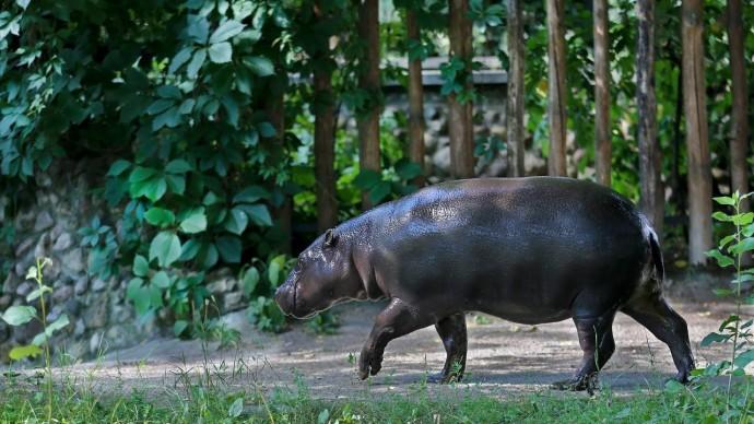 Бегемота Ксюшу из Московского зоопарка впервые выпустили в наружный вольер