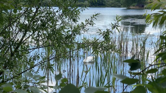 На пруду в парке «Митино» появились еще две пары лебедей