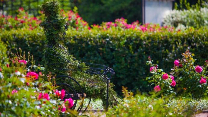Парк «Сокольники» опубликовал видеолекцию по уходу за садовыми розами