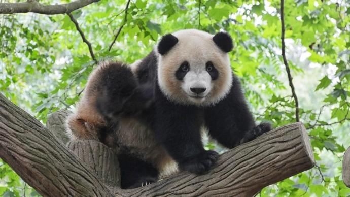 Московский зоопарк запускает видеотрансляцию из вольеров панд