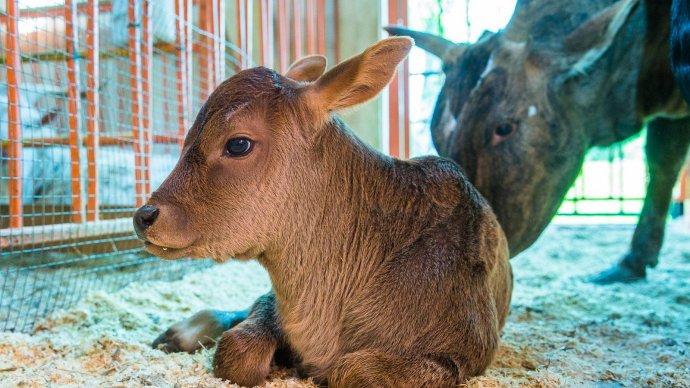 На «Городской ферме» ВДНХ можно посмотреть теленка горбатой коровы