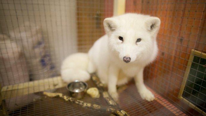 В живом уголке «Сокольников» появились жемчужная лиса и белоснежный песец