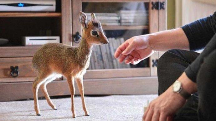 В Московском зоопарке родился дикдик
