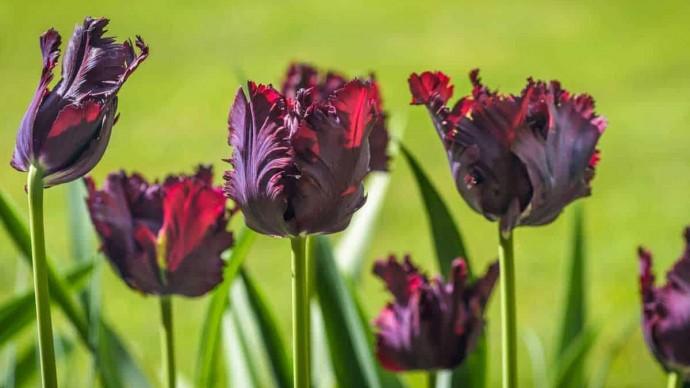 В «Аптекарском огороде» расцвели черные тюльпаны