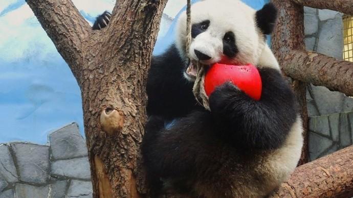 В Московском зоопарке покажут фильм о китайских пандах