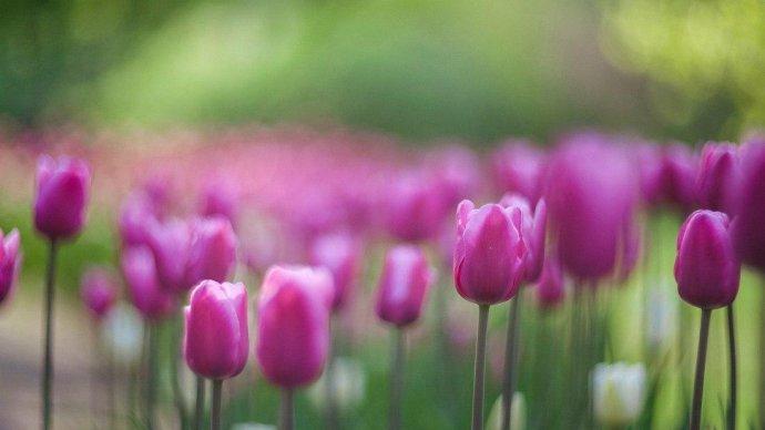 В «Сокольниках» посетителям подарят луковицы тюльпанов