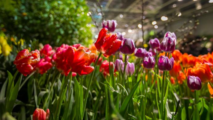 В «Аптекарском огороде» расцветут 10 тысяч тюльпанов