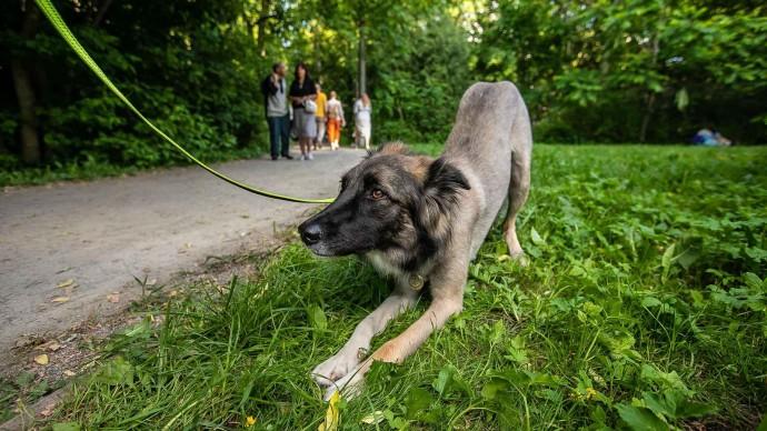 «Перекресток» и Purina One запустили для пенсионеров бесплатный сервис по выгулу собак