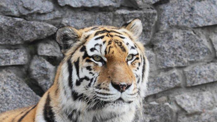 Сбежавшую тигрицу вернули в вольер Ленинградского зоопарка