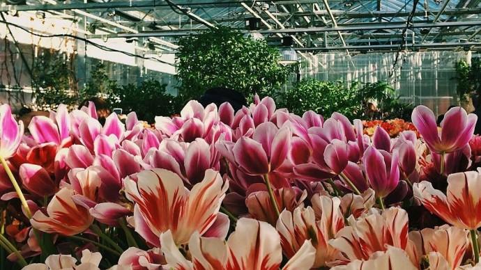 Зимняя выставка тюльпанов «Репетиция весны»
