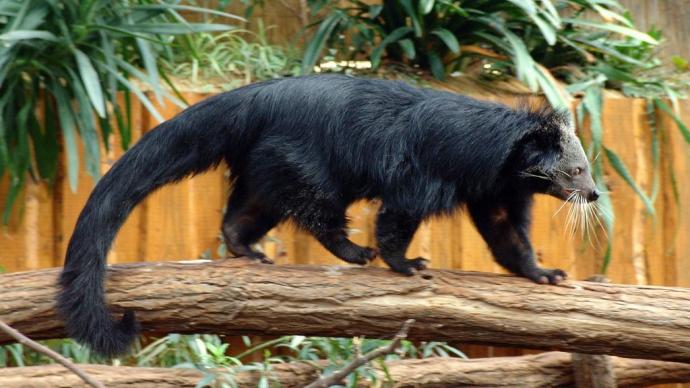 В Московском зоопарке «поселился» кошачий медведь