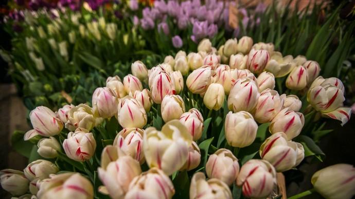 Гостям «Аптекарского огорода» подарят 313 тюльпанов