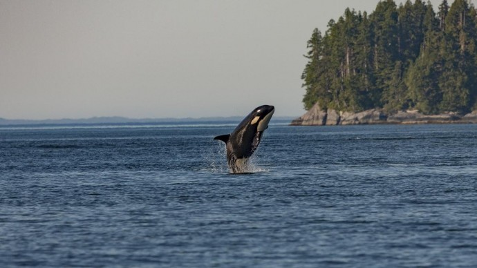Названа стоимость освобождения косаток из «китовой тюрьмы» в Приморье