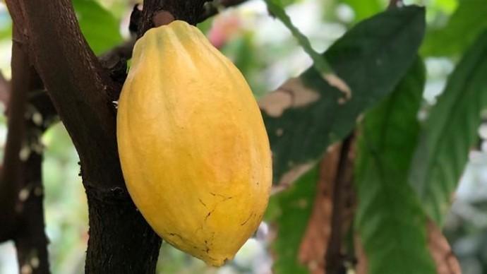 В «Аптекарском огороде» зреет какао