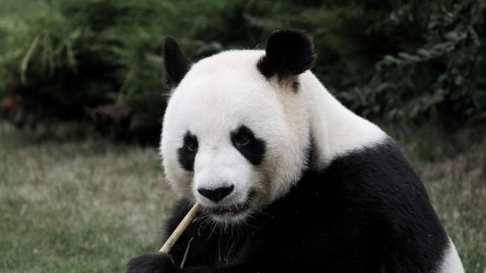 В Московском зоопарке не будут вводить должность «обнимателя панд»