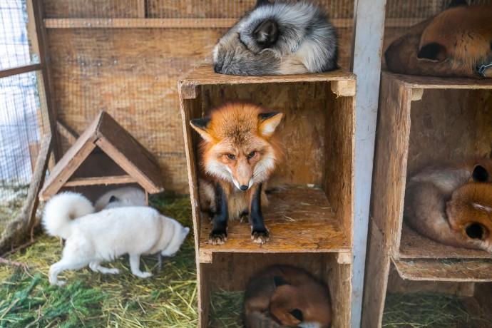 Белые, рыжие, черные и жемчужные: кого можно увидеть на выставке лис в «Сокольниках»